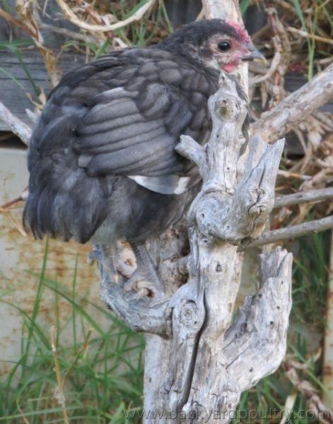 Blue Australorp chick