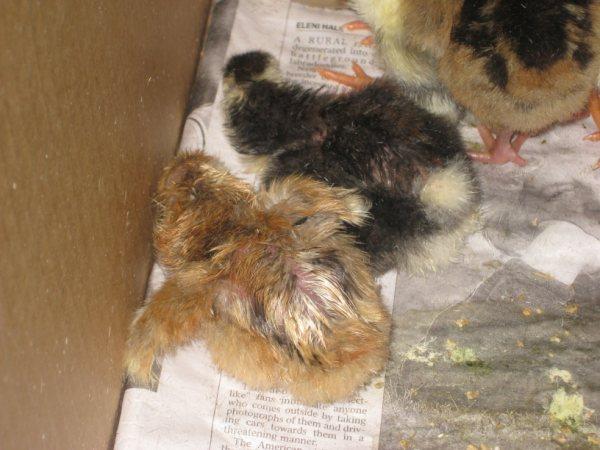 Mandi's Barnie Chicks