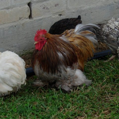 Blue_Rooster_2