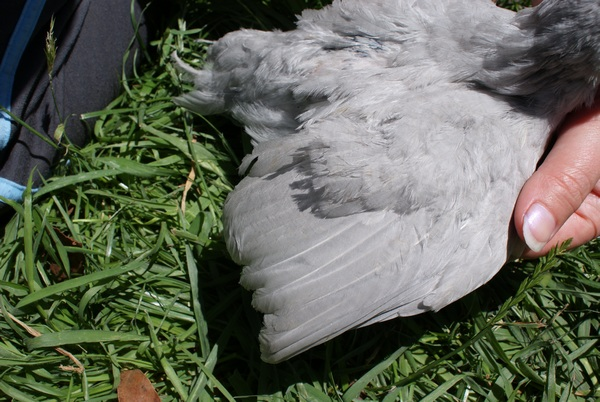 Araucana Chick 4 Wing - 4 weeks old