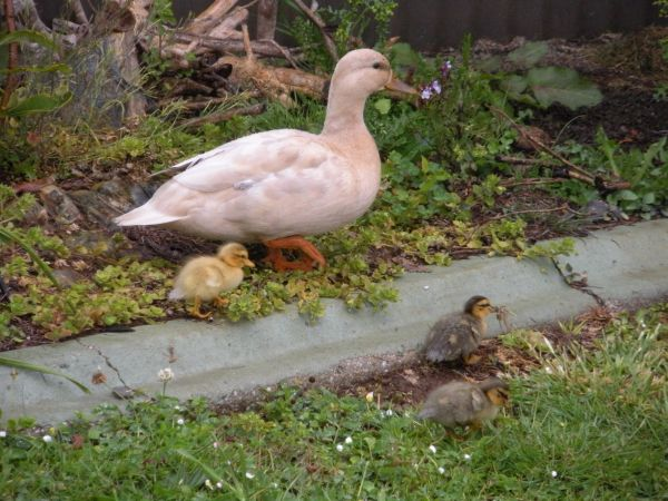 Cinnamon and ducklings 2