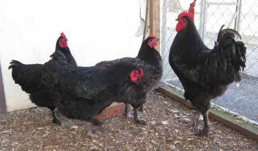 Croad Cockerell and Pullets.
