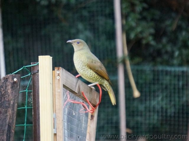 Female Satin Bowerbird _1