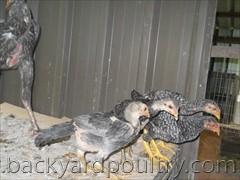 shamo and asil chicks