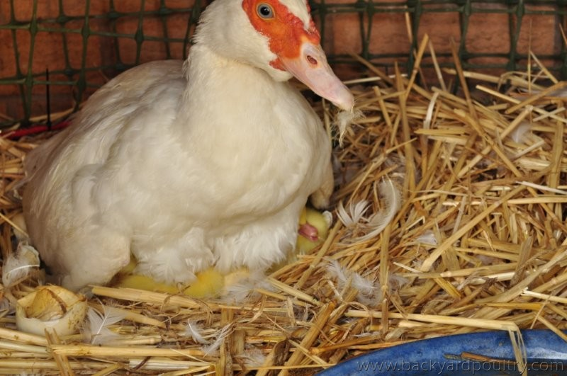 Day old Muscovy ducklings
