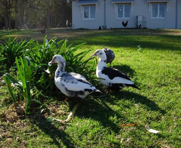 Ducks_12
