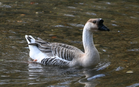 Waterfowl in South Eastern France November 2011
