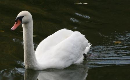 Etang de Rosierie Swan