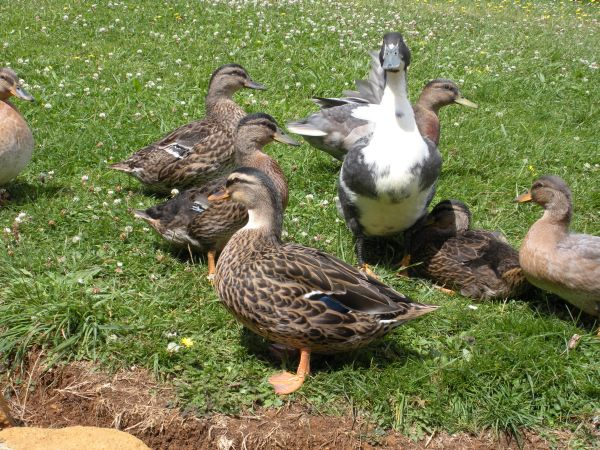 My duck family 2