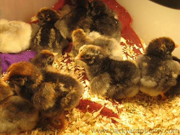 new blg wyandotte chicks