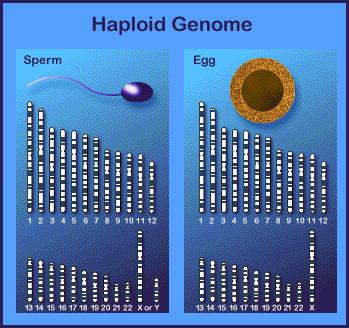 Haploid_genome-01_01_08_1_