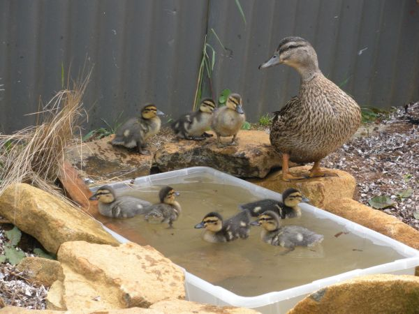 Huffins_ducklings_1_week_pond3_Resized1