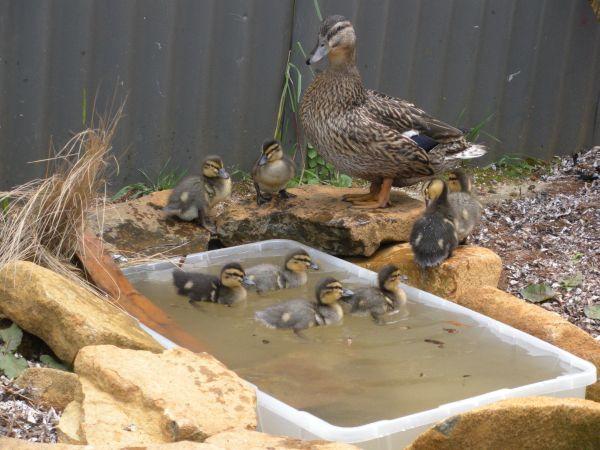 Huffins_ducklings_1_week_pond4_Resized1