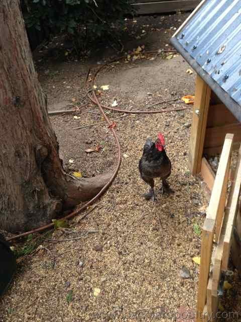 Langshan bantam cockerel free to good home