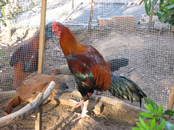 Thai gamefowl at 8 mths old