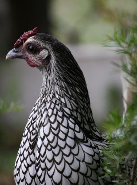 Sebright Hen