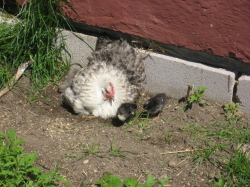 Chicki and chicks