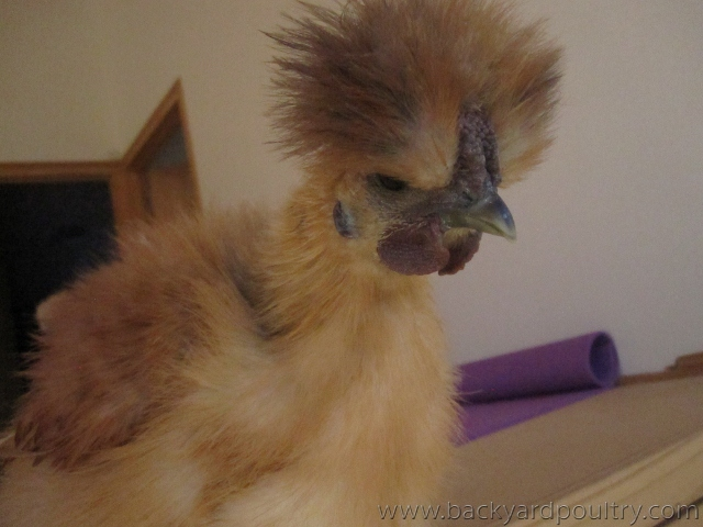 10 week old silkies