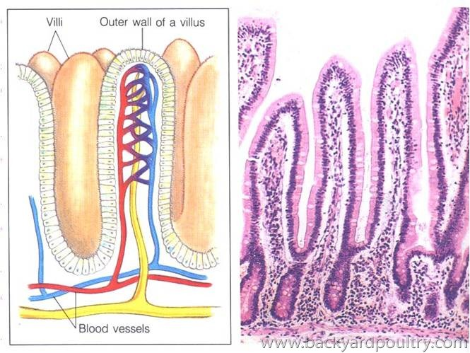 Intestinal_villi_healthy