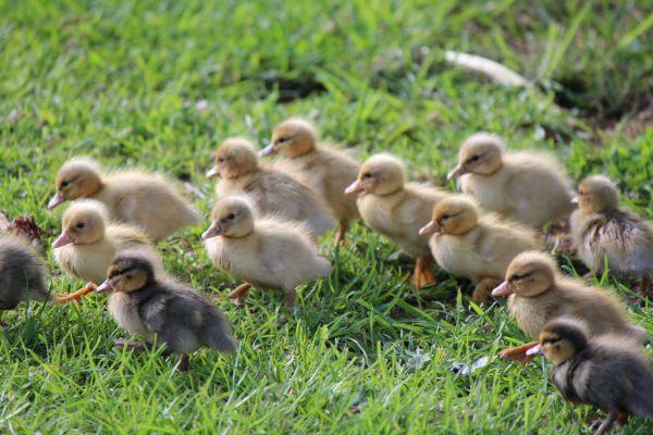 Lots_of_ducklings_resized