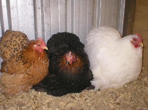 Lot 112: Three Mixed Coloured Pekin Females