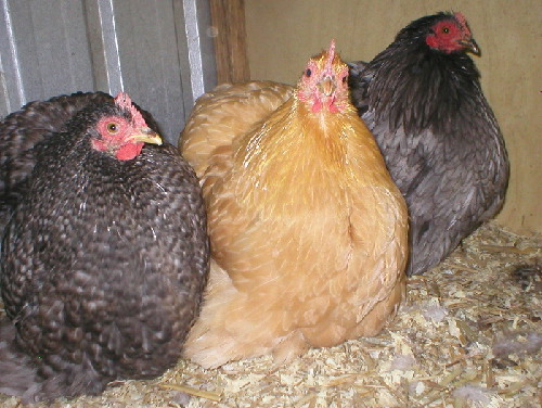 Lot 46: Three Mixed Coloured Pekein Females