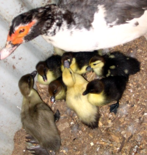 Mus_Ducklings