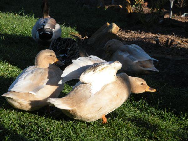 New_ducks_1006112_Resized
