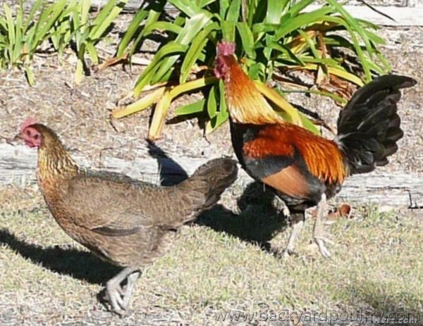 Older_rooster_with_hen_Aug_093