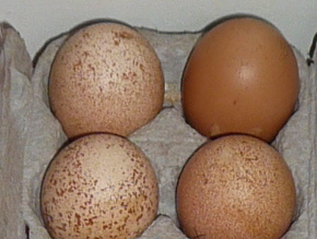 langshan eggs with one barnie egg
