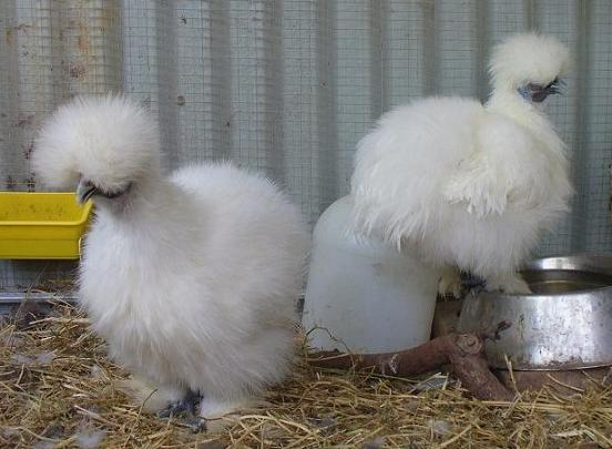 Silkies F2s Hatch 2 - Isabel & too Light Lav 5.5months