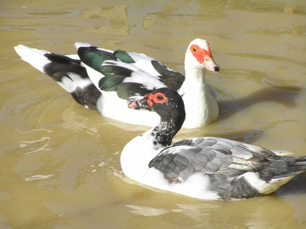 Muscovy females swimming