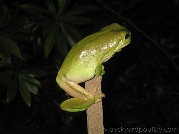 Tree_frog_on_a_tomato_stake
