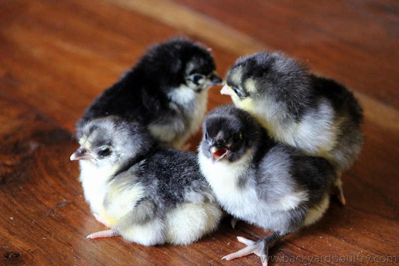 blue_orpington_bantam_chick-001
