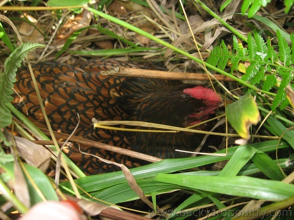 broody in the grass