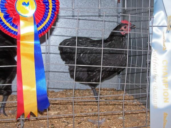 Champion Bird of Show Australorp Bantam