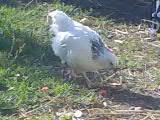 chick15
