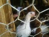 chicken22