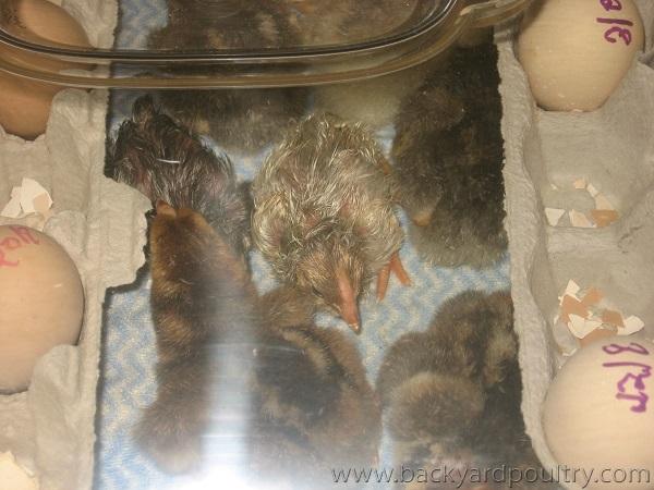 rcom chicks 2