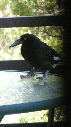 currawong foot 2
