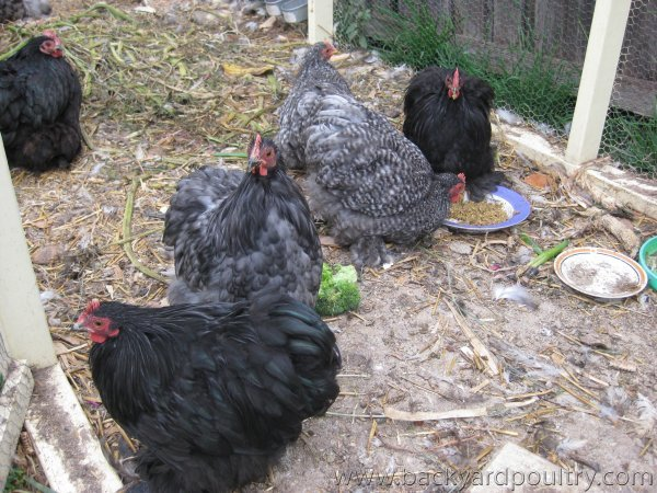 Five Pekin Cockerels