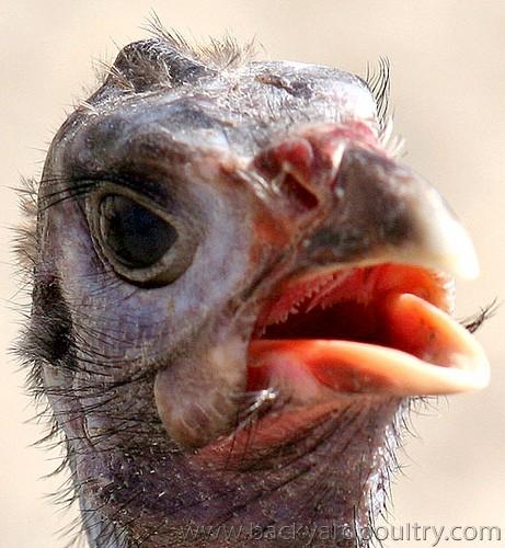 guinea_face