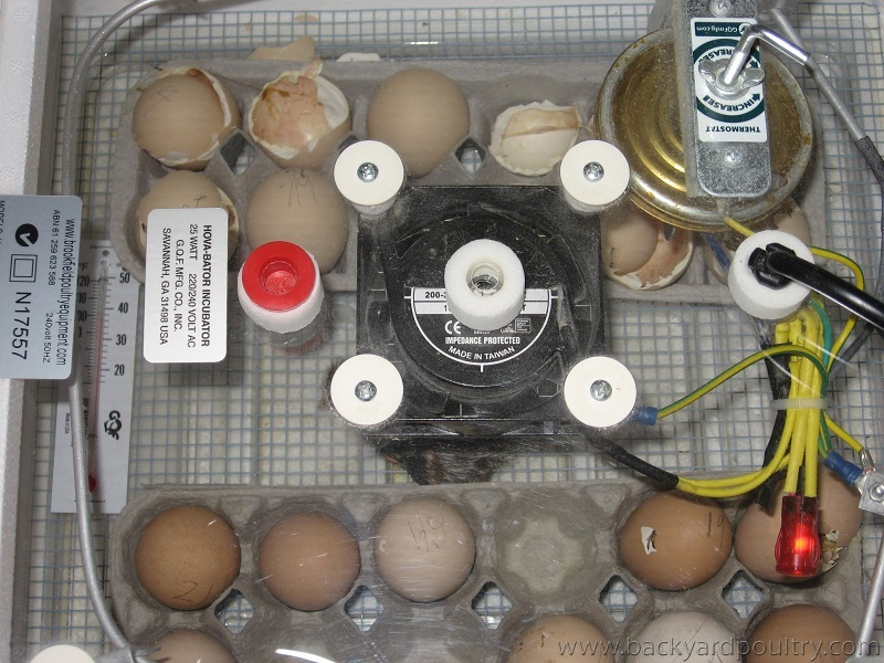 hatching in egg cartons