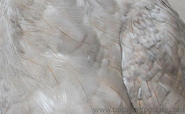lavender feathers closs