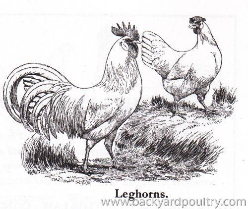 leghorns6