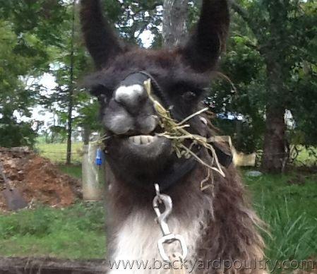 llama_grass