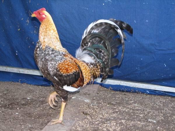 Creel cock 4 yr old
