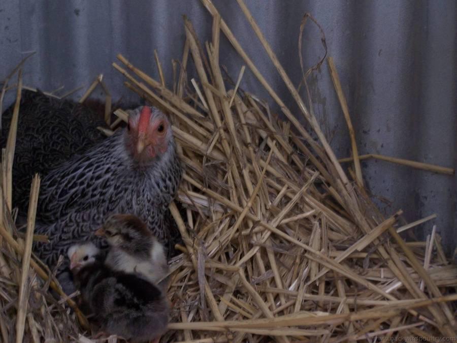 20 chicks