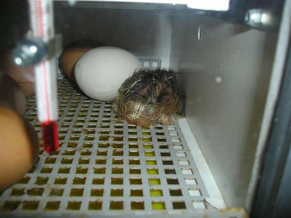 1st chick cucko Dorking X