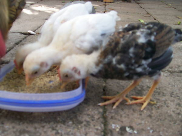 27 day old wheaten and pile bantam modern game